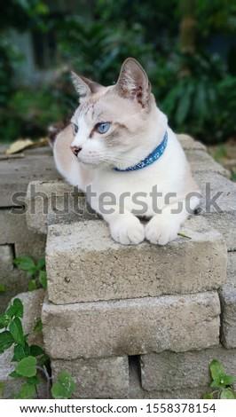 Siamese blue eye cat on a brick. feline. adorable fluffy kitty