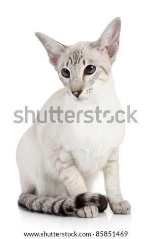 Siamese Blue-point cat sits on a white background