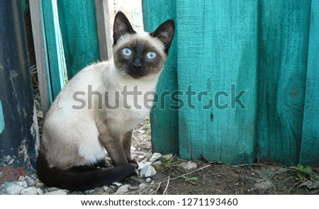 Siamese Calmly Sits sits beneath fence #1271193460