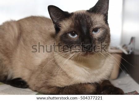 SIAMESE CAT #504377221
