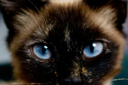 Siamese cat close up with blue eyes.