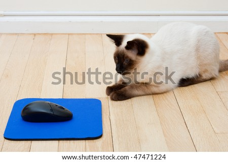 Siamese Cat curiously sitting in front of a computer mouse laying on a mousepad on the floor