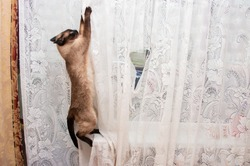 siamese cat hanging on a white tulle curtain, spoiling home curtains