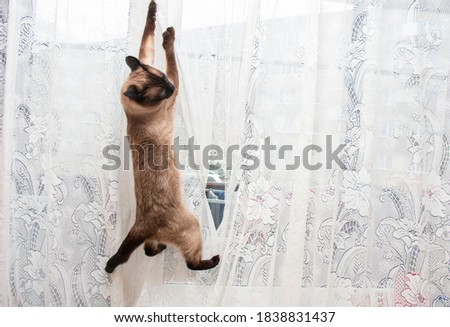 siamese cat hanging on a white tulle curtain, spoiling home curtains Photo stock ©
