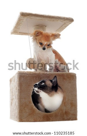 siamese cat in a scratching post with a purebred chihuahua