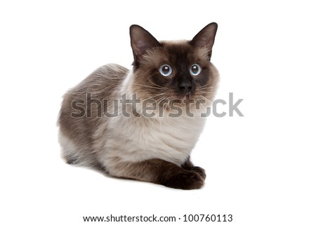 Siamese cat in front of a white background
