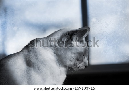 Siamese Cat in the winter window, sad attitude