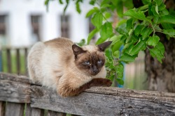 Siamese cat is sitting on the fence