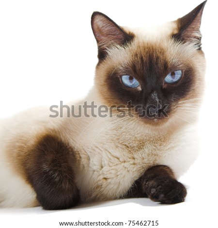 Siamese cat isolated on the white background