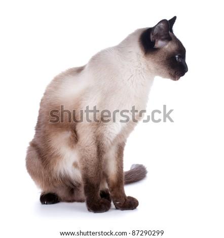 Siamese cat. Isolated on white background - stock photo