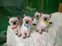 Siamese cat kitten Gang