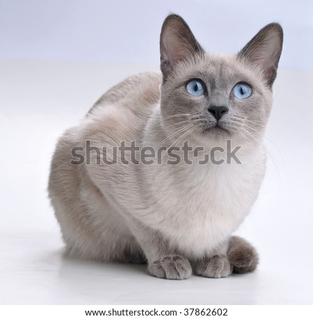 Siamese Cat Looking Curious