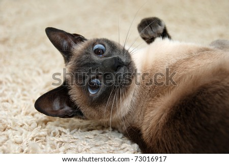 Siamese cat lying on the carpet