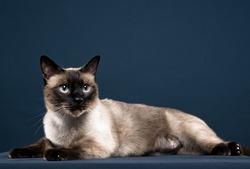 siamese cat portrait in dark blue background