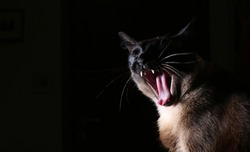 Siamese cat poses for photo on dark background.