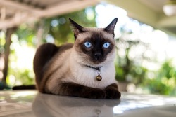 Siamese cat resting on  the floor.