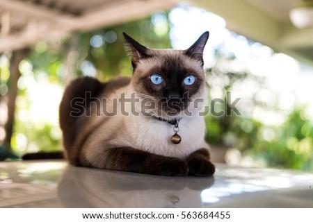 Siamese cat resting on  the floor.