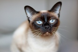 Siamese cat's snout and whisker