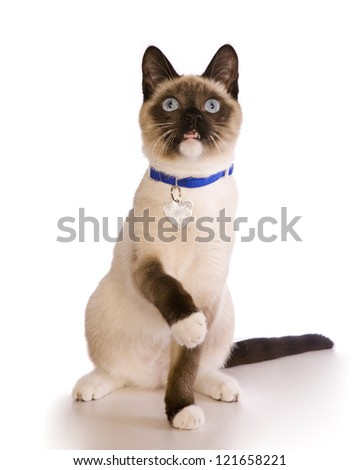 Siamese cat sitting with collar and tag isolated on white background