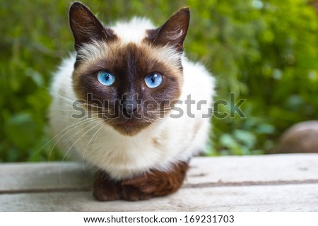 Siamese cat warily watching, sitting on a wooden bench #169231703