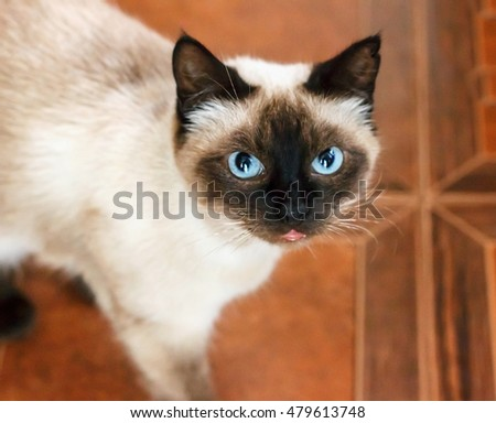Siamese cat with blue eyes, looking directly pet #479613748