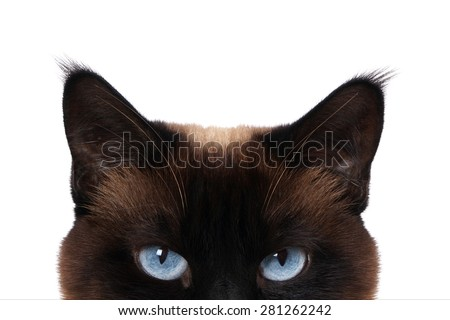siamese cat with blue eyes peeking isolated on white                #281262242