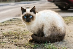 Siamese cat with blue eyes sitting on the street