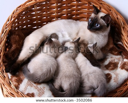 siamese cat with small kittens