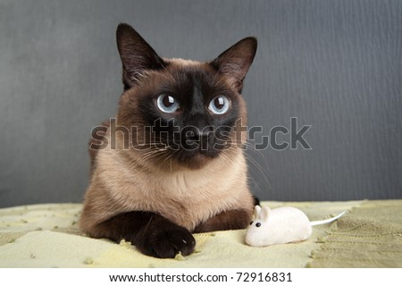 Siamese Cat with white mouse