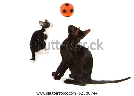 Siamese cats are playing with a ball in the studio