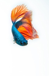 siamese fighting fish, betta fish swimming downward isolated on white background