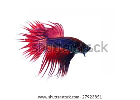 betta splendens science projects