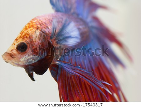 stock photo Siamese fighting fish from focused to out of focused