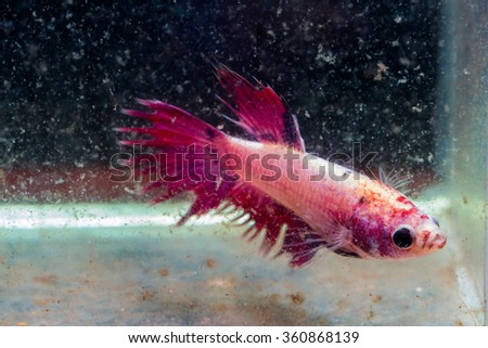 siamese fighting fish injuries head and tail after fighting in turbid water
