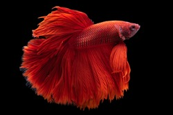 Siamese Fighting fish, multi colors betta, Thai national fish, Fish isolated on a black background. The action of the fish turning its head in various directions during swimming. Beautiful colors