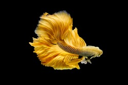 Siamese Fighting fish on isolated  black background and Close up Fine art of Golden Betta  Splendens