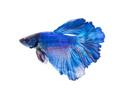 Siamese fighting fish, on white background.