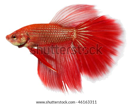 Siamese figthing fish isolated in white background. Betta splendens.
