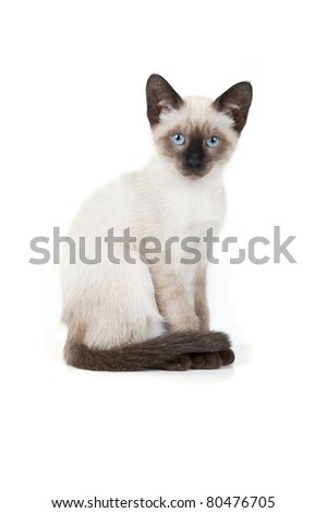 Siamese kitten isolated
