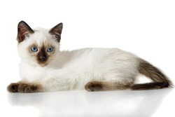 Siamese kitten isolated on the white background