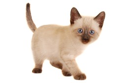 Siamese Kitten on White Looking at Camera