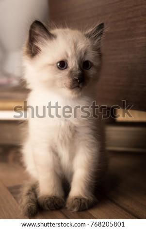Siamese kitten sits on the floor #768205801