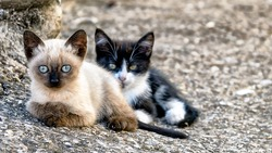 Siamese kitten sitting next to black and white kitten, looking at camera; focus on siamese