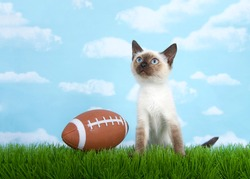 Siamese kitten sitting on grass looking up at the sky, american football sitting on the grass next to him her. Fun  depiction for foot ball season