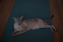 Siamese oriental cat on a gymnastic blue rug. An oriental beige cat with blue eyes lies on a yoga mat.