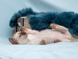 Siamese pussycat in home on blue