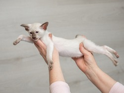 Siamese pussycat in home on breeder's hands
