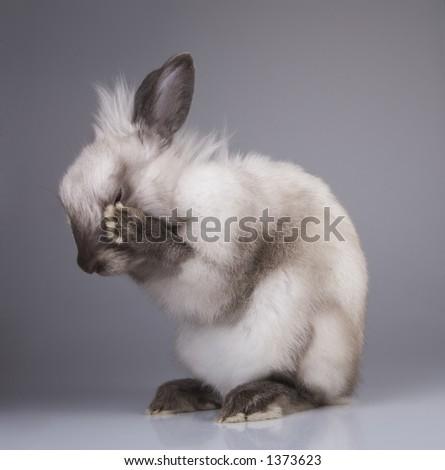 Siamese rabbit Big Ear take a wash
