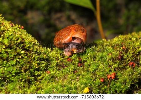 Siamese snail, Cryptozona siamensis moving on green moss. #715603672