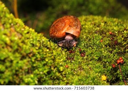 Siamese snail, Cryptozona siamensis moving on green moss. #715603738